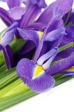 Purpurrote Iris Lizenzfreie Stockfotos