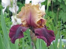 Purpurrote Iris lizenzfreie stockbilder