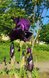 Purpurrote Iris Stockbilder