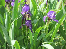 Purpurrote Iris Stockfotografie