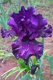 Purpurrote Iris Lizenzfreie Stockfotografie