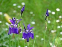 Purpurrote Iris auf einem grünen Gebiet lizenzfreies stockbild