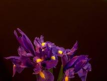 Purpurrote Iris auf Schwarzem mit Kopienraum Stockbild