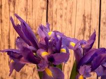 Purpurrote Iris auf Schwarzem mit Kopienraum Stockfoto
