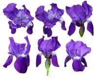 Purpurrote Iris auf weißem Hintergrund lizenzfreie stockbilder