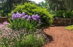 Purpurrote Iris in der Blüte in einem Garten Stockfotografie