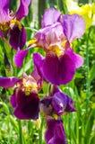 Purpurrote Iris, die im Garten blüht Lizenzfreies Stockfoto