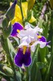 Purpurrote Iris, die im Garten blüht Stockfoto