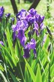 purpurrote Iris, die im Garten am Sonnenscheintag wächst Lizenzfreie Stockfotos