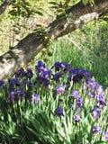Purpurrote Iris, die unter Baum wächst stockbild
