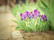 Purpurrote Iris in einer natürlichen Umwelt Stockbilder