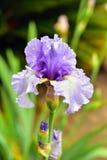 Purpurrote Iris im Garten Stockbilder