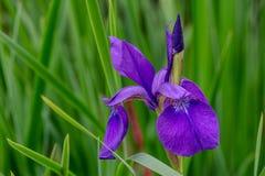 Purpurrote Iris mit der Knospe Stockbild