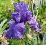 purpurrote Iris nach dem Regen Stockbilder