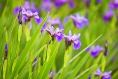 Purpurrote Iris nach einem Regen auf dem Blumenbeet Stockfoto