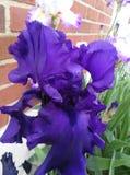 Purpurrote Iris nach Regen Lizenzfreie Stockfotos