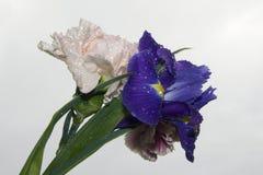 Purpurrote Iris und Gartennelken Stockbilder