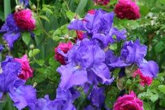 Purpurrote Iris und Scharlachrot Rose pflanzt das Blühen in einem Garten des natürlichen Frühlinges Stockbilder