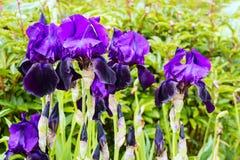 Purpurrote Iris in voller Blüte Lizenzfreie Stockbilder