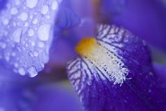 Purpurrote Irisblume Lizenzfreie Stockfotografie