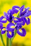 Purpurrote Irisblume auf dem gelben Hintergrund Stockfotos