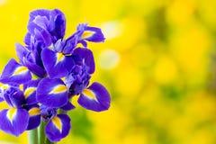 Purpurrote Irisblume auf dem gelben Hintergrund Lizenzfreie Stockfotos