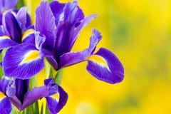 Purpurrote Irisblume auf dem gelben Hintergrund Stockfotografie