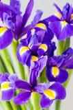 Purpurrote Irisblume auf dem gelben Hintergrund Stockbilder