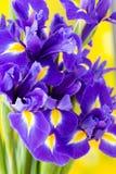 Purpurrote Irisblume auf dem gelben Hintergrund Lizenzfreie Stockbilder