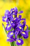 Purpurrote Irisblume auf dem gelben Hintergrund Lizenzfreie Stockfotografie