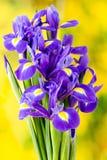 Purpurrote Irisblume auf dem gelben Hintergrund Stockbild
