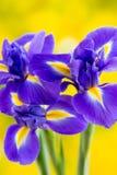 Purpurrote Irisblume auf dem gelben Hintergrund Lizenzfreies Stockbild