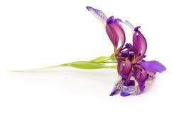 Purpurrote Irisblume auf dem weißen Hintergrund Stockfoto