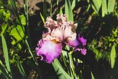 Purpurrote Irisblume, die im Garten blüht Stockbilder