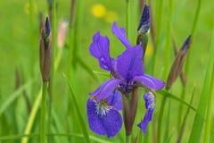 Purpurrote Irisblume mit dem gelben Schatten, der während des Regnens von Summe blüht Stockbild