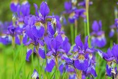 Purpurrote Irisblume mit dem gelben Schatten, der während des Regnens von Summe blüht Lizenzfreie Stockfotos