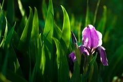 Purpurrote Irisblume Schließen Sie herauf die Detailblume, die im Frühjahr, undeutlicher Grünblatthintergrund blüht Lizenzfreies Stockfoto