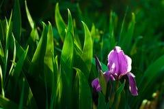 Purpurrote Irisblume Schließen Sie herauf die Detailblume, die im Frühjahr, undeutlicher Grünblatthintergrund blüht Stockbild