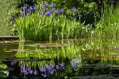 Purpurrote Irisblumen Stockfoto