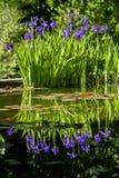 Purpurrote Irisblumen Lizenzfreies Stockfoto
