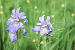 Purpurrote Irisblumen auf Hintergrund des grünen Grases Lizenzfreie Stockbilder