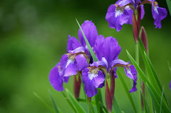 Purpurrote Irisnahaufnahme Stockfotografie