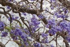 Purpurrote Jacarandabaumblumen, blüht Blumenhintergrund lizenzfreie stockfotografie