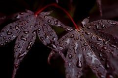Purpurrote japanische Ahornbaumblätter mit Wassertropfen Stockfotografie