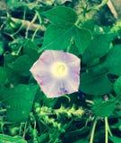 Purpurrote Kürbisblüte Stockbild
