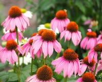 Purpurrote Kegel-Blume oder Echinacea Purpurea Stockfotos