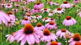 Purpurrote Kegelblumen Stockbilder