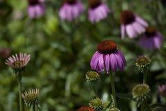 Purpurrote Kegelblumen Lizenzfreies Stockbild
