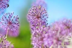 Purpurrote Knoblauchblumen Stockbilder