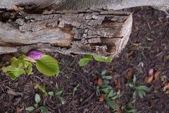Purpurrote Knospe, die vom hölzernen Stumpf keimt Stockbild